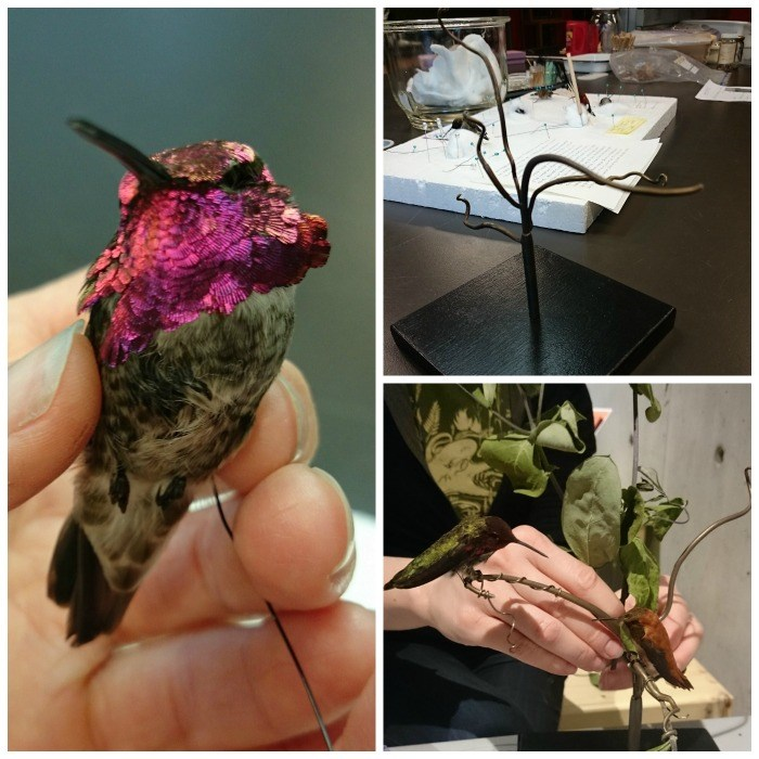 Precious - a hummingbird that is part of our Backyard Biodiversity exhibition.