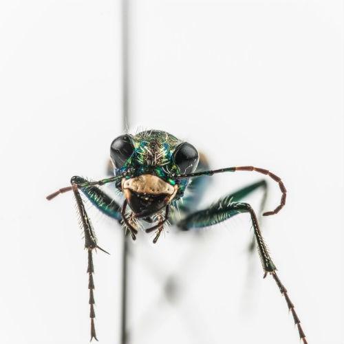 Dark Saltflat Tiger Beetle from Royal BC Museum.