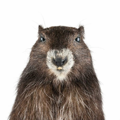 Vancouver Island Marmot from Royal BC Museum.