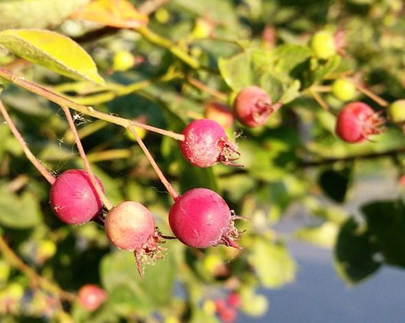 saskatoon-berries-vancouver