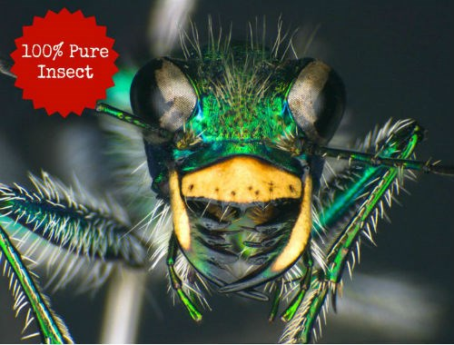 Green tiger beetle from the Beaty Biodiversity Museum. Photo by Don Griffiths.