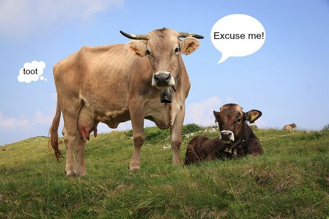 Cows at ease. Original photo by Flickr user