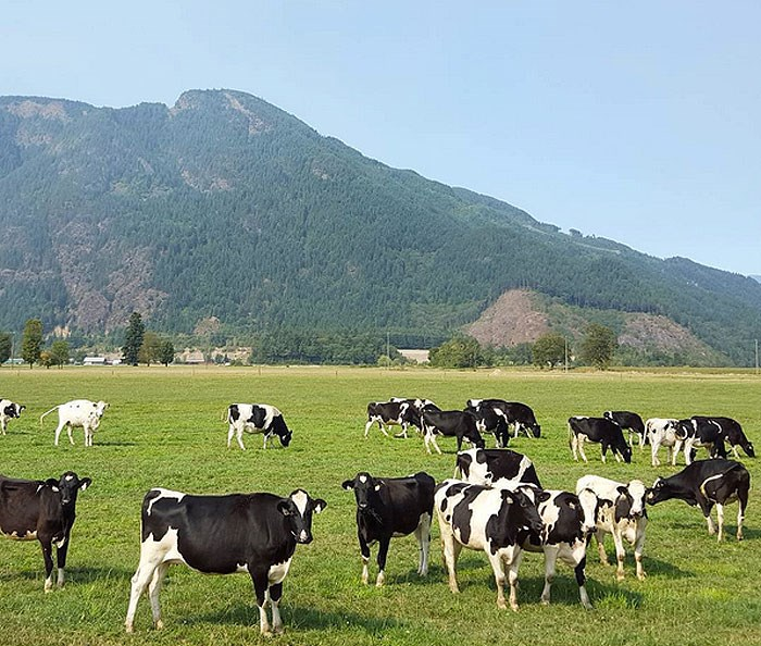 These Agassiz cows knew I wasn't from around these parts