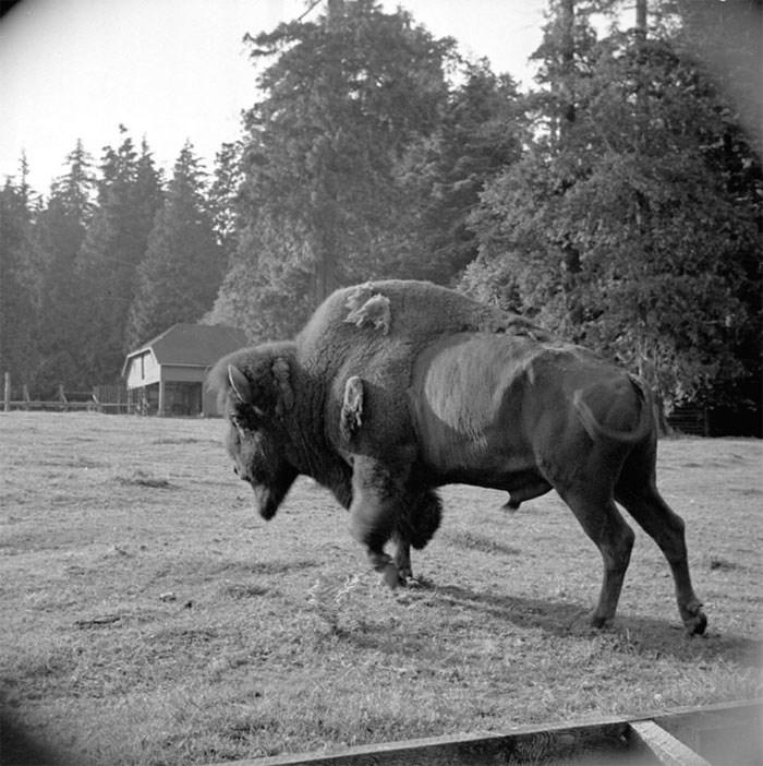 buffalo-stanley-park