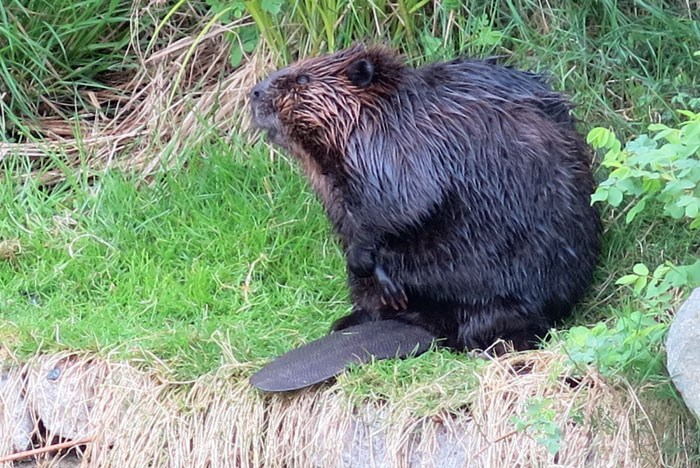 The original Olympic Village Beaver back in 2013