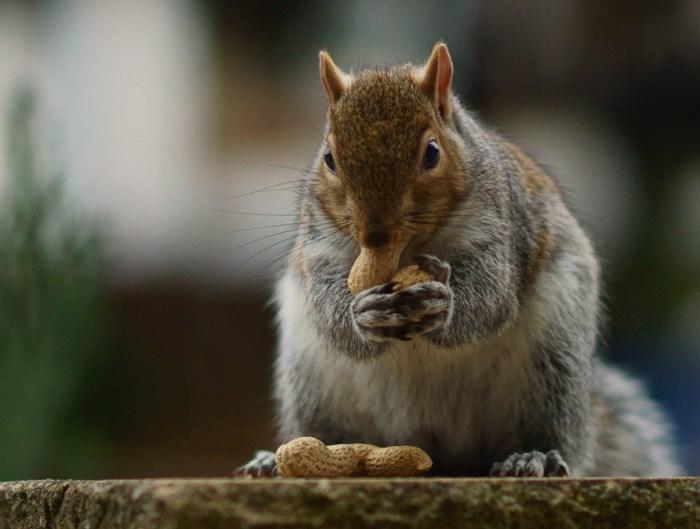 eastern-grey-squirrel