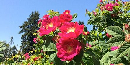 June5_Rosa-x-damascena
