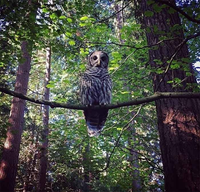 UBC Garden Owl