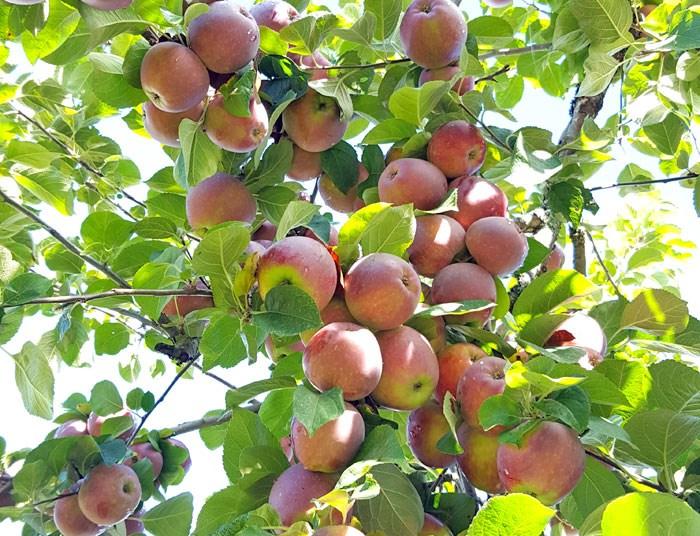 heirloom-apples