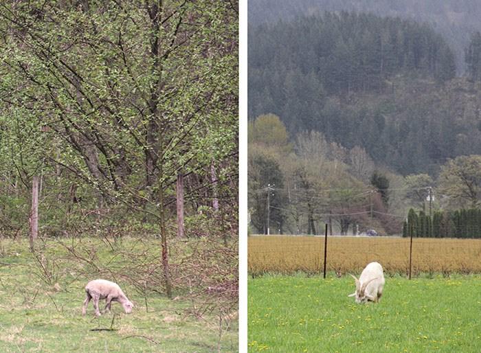 Sheep left, crazy horned goat right