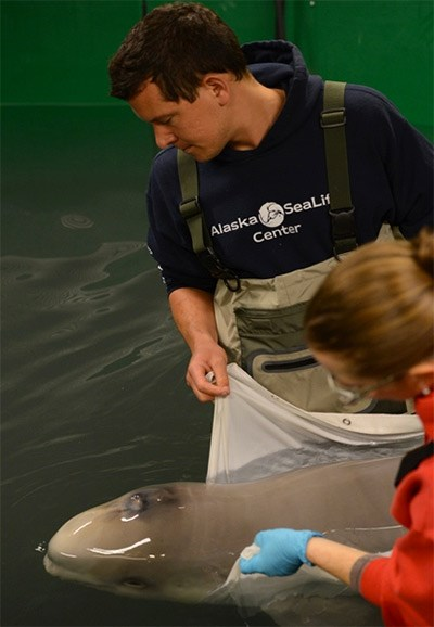 Experts from aquariums around North America that have traveled to Alaska to help care for a stranded newborn beluga whale. (Activities pictured are authorized by MMHSRP MMPA/ESA #18786-01) Photo courtesy Vancouver Aquarium