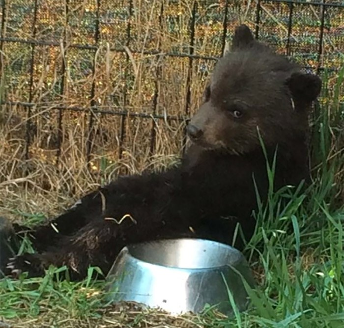 A black bear cub is pictured in the Dawson Creek, B.C., area on May 6, 2016, before it was destroyed by a conservation officer. A wildlife advocacy group is accusing the British Columbia government of not following its own law on the destruction of bears by conservation officers. The Association for the Protection of Fur-Bearing Animals, also known as the Fur-Bearers, has filed a court petition challenging an officer's decision to kill a black bear cub near Dawson Creek in May 2016. THE CANADIAN PRESS/HO-The Fur-Bearers-Tiana Jackson