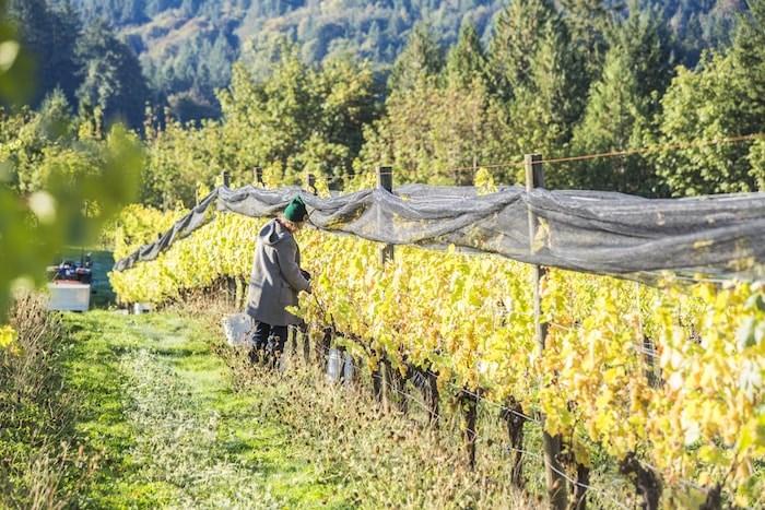 Blue Grouse's vineyard (Photo by Derek Ford/courtesy Blue Grouse)