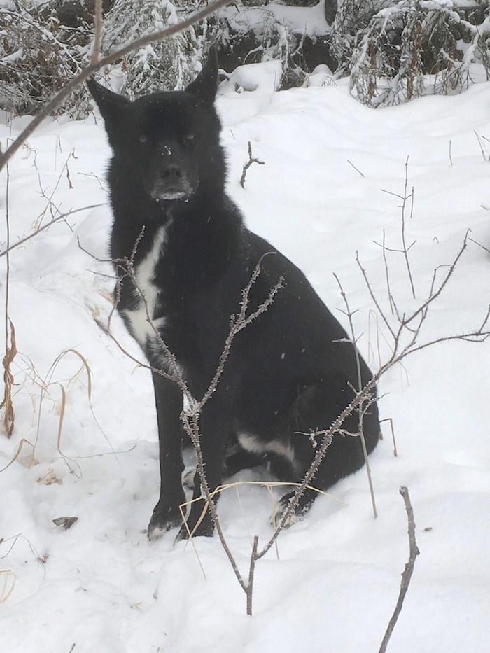 Yukon the husky (Photo courtesy BC SPCA)