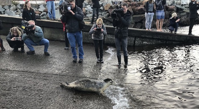 8 rescued and rehabilitated seal pups were released into Howe Sound on December 14, 2017 (Photo courtesy Vancouver Aquarium Marine Mammal Rescue Centre)