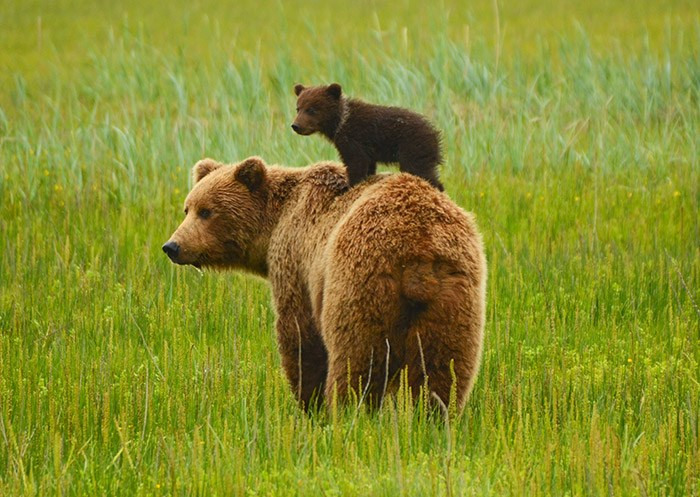 Coastal grizzly bears. Shutterstock
