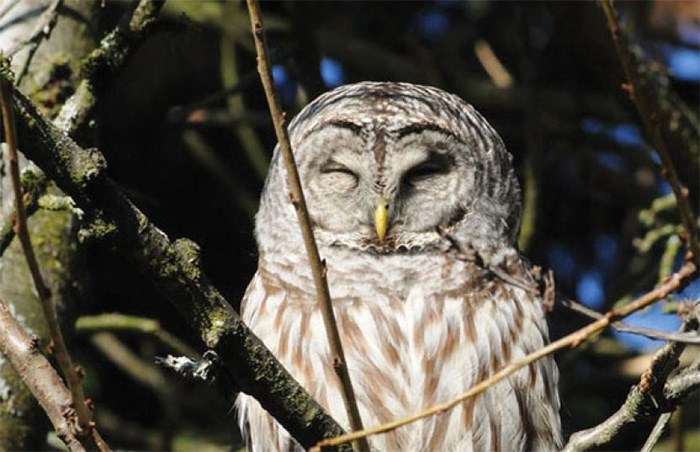 This owl in Ulrike Baumert's North Vancouver backyard was later found dead, likely from poison. photo supplied Ulrike Baumert