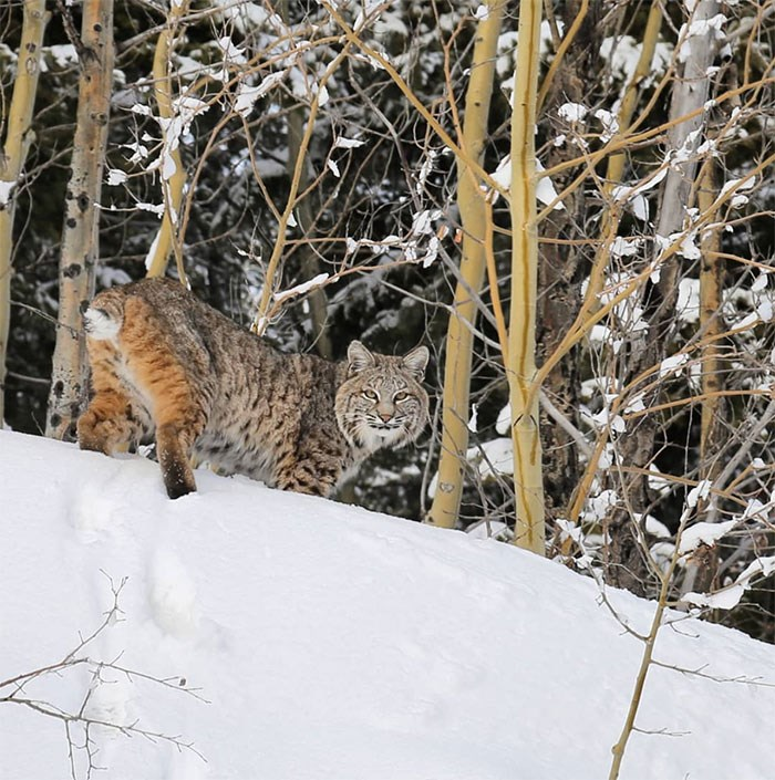 Bobcat spotted on the Hope Princeton Highway. Photo by