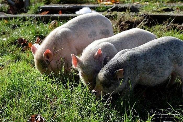 Pigs at the BC SPCA (