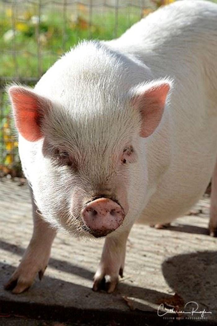 A pig at the BC SPCA facility last summer (
