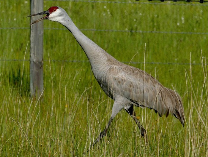 The sandhill crane is a large breed, but you'll probably hear its raucous birdsong before you actually spot it. Photograph by