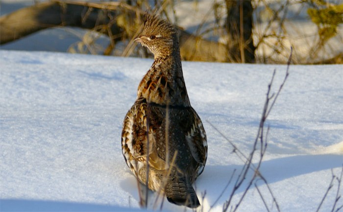 Ruffled grouse, like the one pictured above, can be found all throughout the Cariboo Chilcotin region. Photograph by