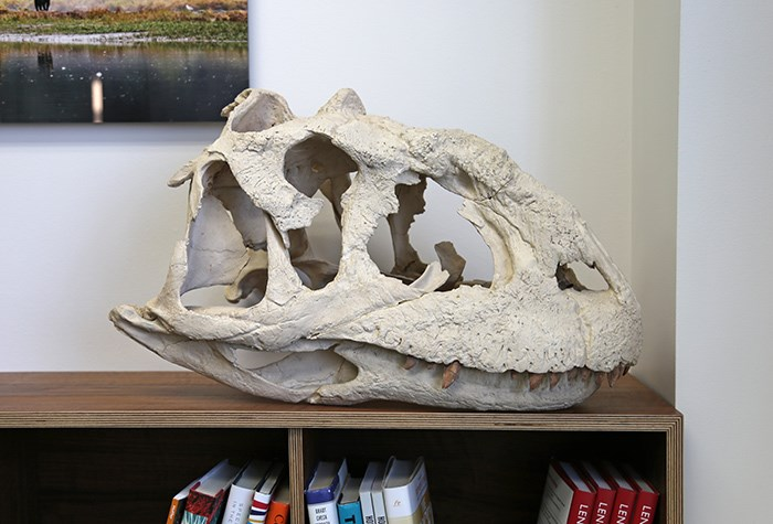 Cast of a Majungasaurus skull