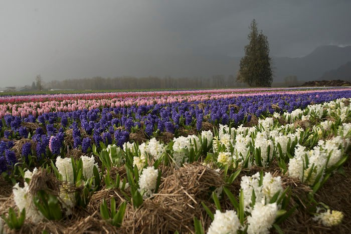 Hyacinth fields (Photo courtesy Tulips of the Valley)