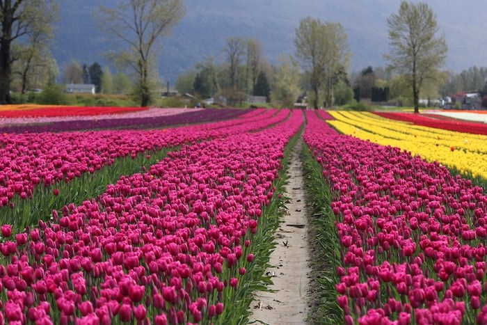Photo courtesy Tulips of the Valley