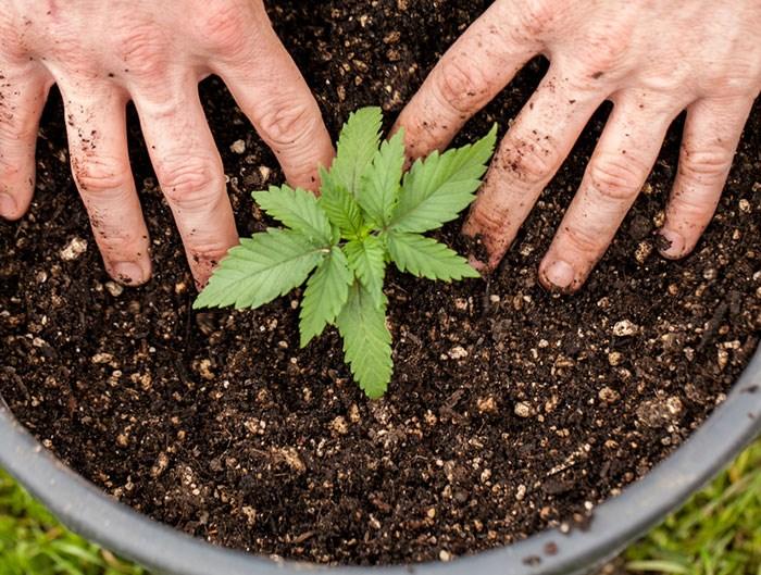 Marijuana plant/Shutterstock