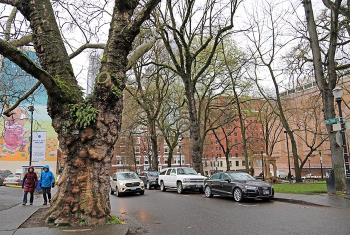 A London Planetree planted in 1880