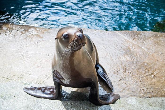 Stellar Sea Lion. Photo: Vancouver Aquarium