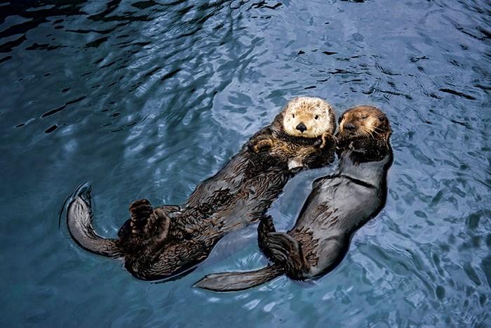Tanu and Katmai. Photo: Vancouver Aquarium