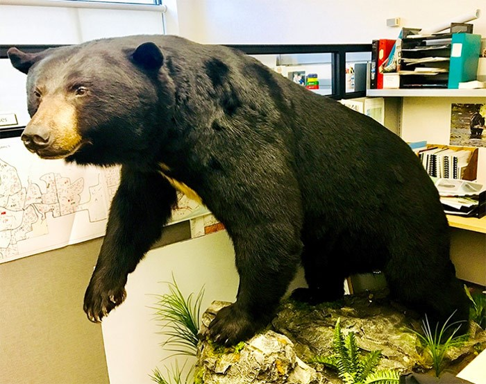 """This suspected """"garbage"""" bear — struck by a car off Chilko Drive in Coquitlam, in October 2016, and euthanized two days later — will be on permanent display in the lobby of Coquitlam city hall as early as next week.   Photograph By CITY OF COQUITLAM"""