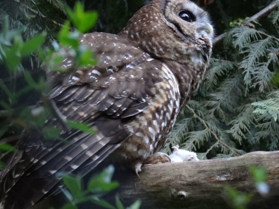 Photo Northern Spotted Owl Breeding Program