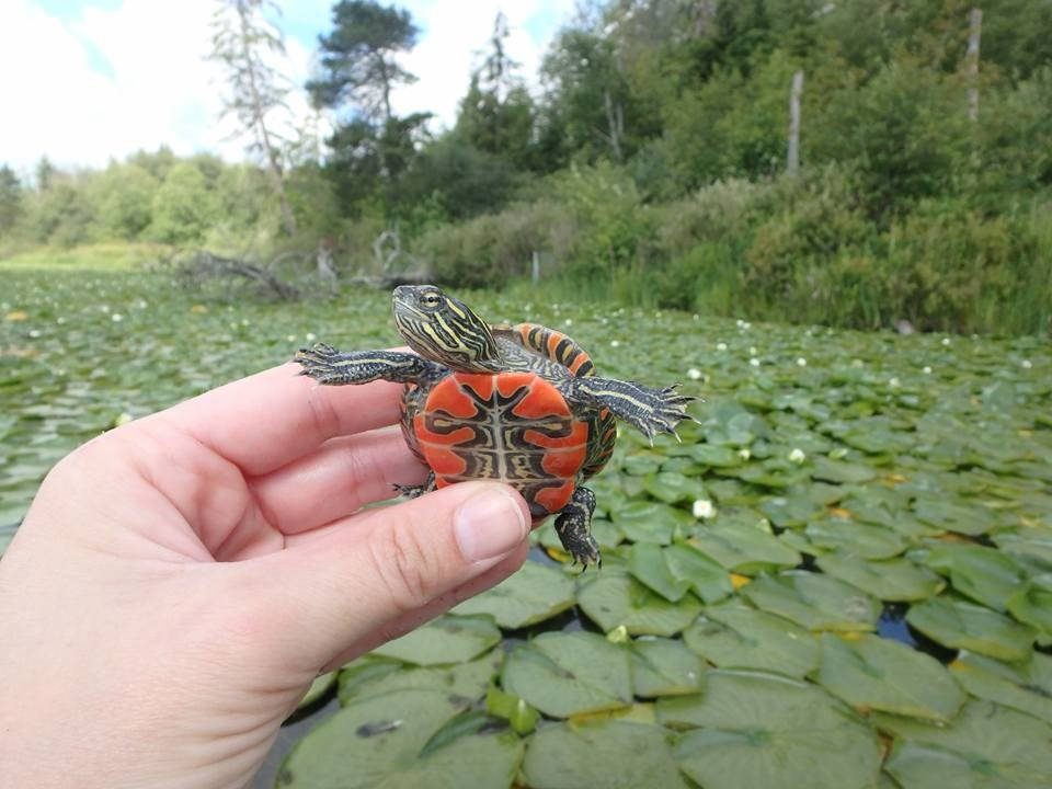 Photo: Coastal Painted Turtle Project.