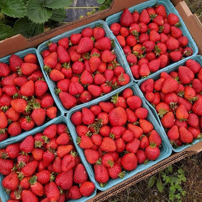 Freshly-picked strawberries.