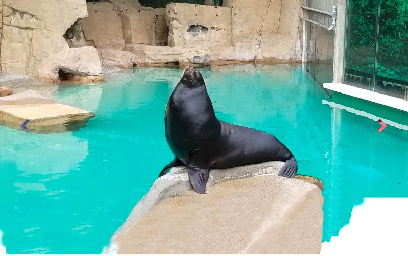 Señor Cinco, the California sea lion found seriously injured on Spanish Banks in May 2017, on Wednesday moved into a new long-term home at Vancouver Aquarium. Photo courtesy Vancouver Aquarium