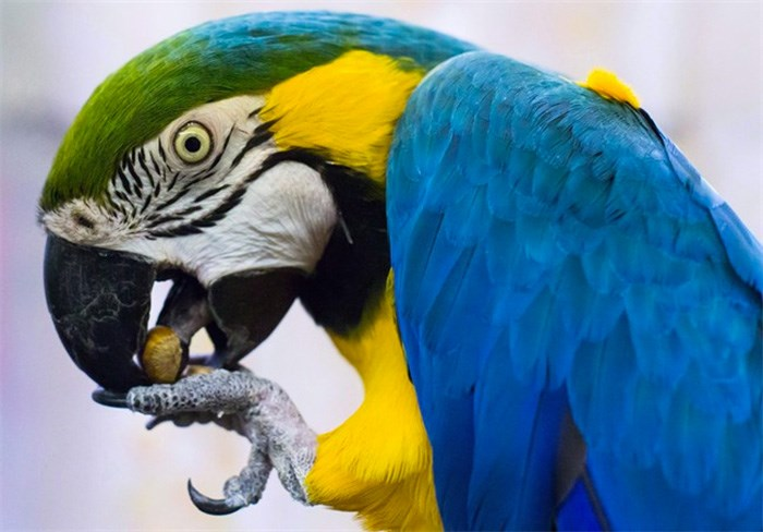 A blue and gold macaw named Clyde eats a nut at a warehouse where 95 birds awaiting adoption are being housed by the Greyhaven Exotic Bird Sanctuary, in Vancouver, B.C., on Tuesday January 23, 2018. Dozens of rescued parrots awaiting adoption have found a new sanctuary via Craigslist. THE CANADIAN PRESS/Darryl Dyck