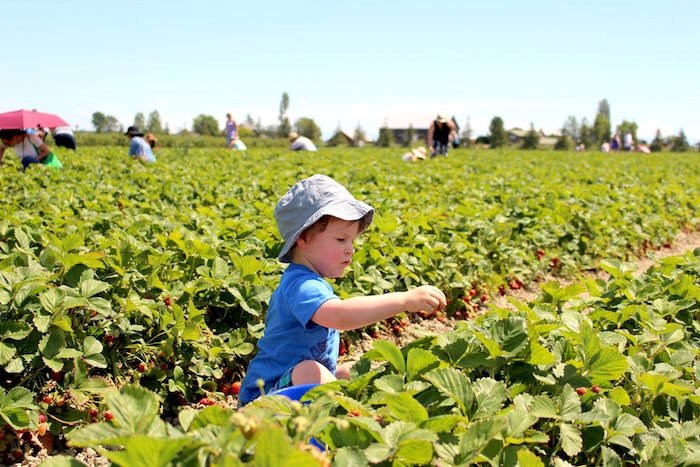Strawberry picking at Emma Lea Farms in Ladner Photo by Lindsay William-Ross/Vancouver Is Awesome