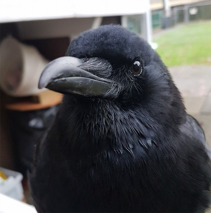 Canuck the Crow. Photo supplied