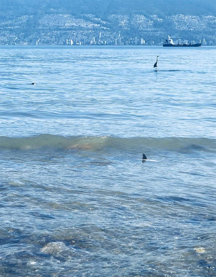 Shark in Vancouver. Also in the frame are a harbour seal and a heron! Photo Kate White.