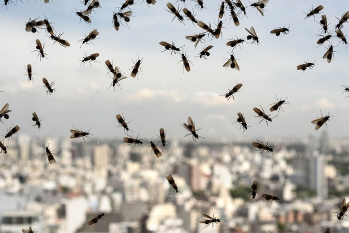 Flying Ant Day Metro Vancouver Residents Mark The Start Of Winged Season Vancouver Is Awesome