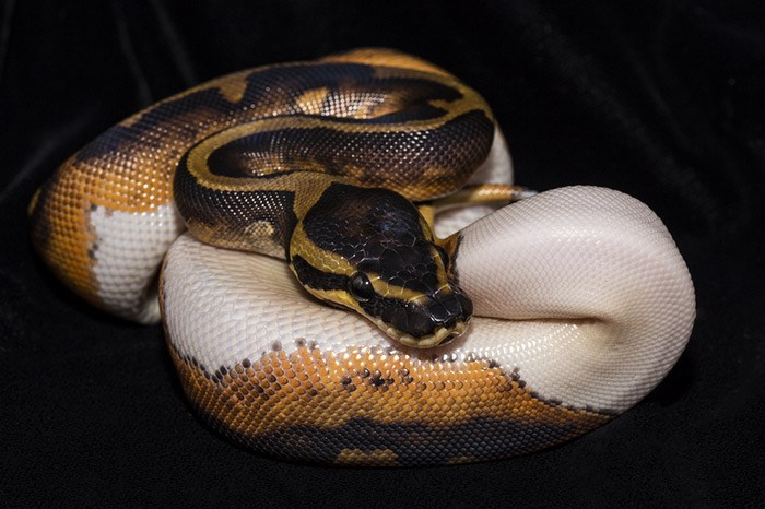 Two Metre Long Pet Python Named Gypsy Missing In Delta Vancouver Is Awesome