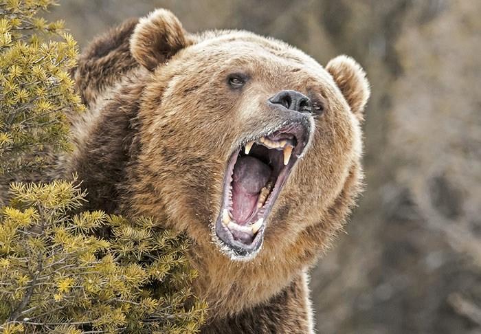 Grizzly bear/Shutterstock