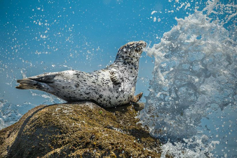 """Air Guitar Seal."" Photo credit: Mike Walsh"