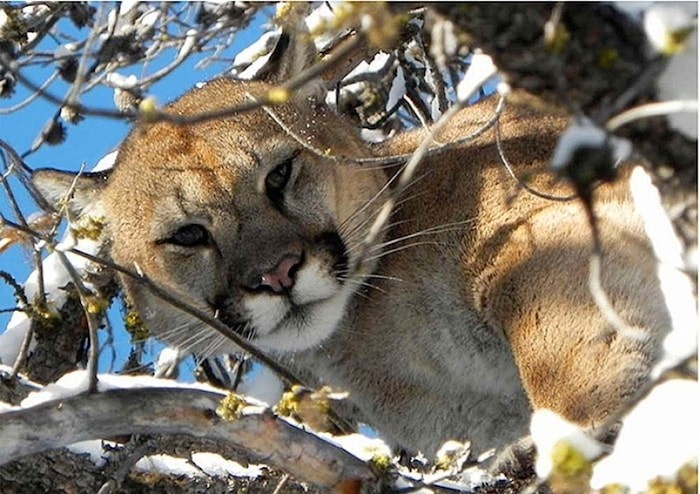 A cougar, like the one in this Tri-City News file photo, has been spotted in the City Centre area of Coquitlam.