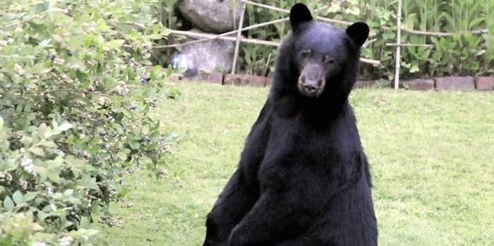 Black Bear in the North Shore area. File photo Mike Wakefield, North Shore News
