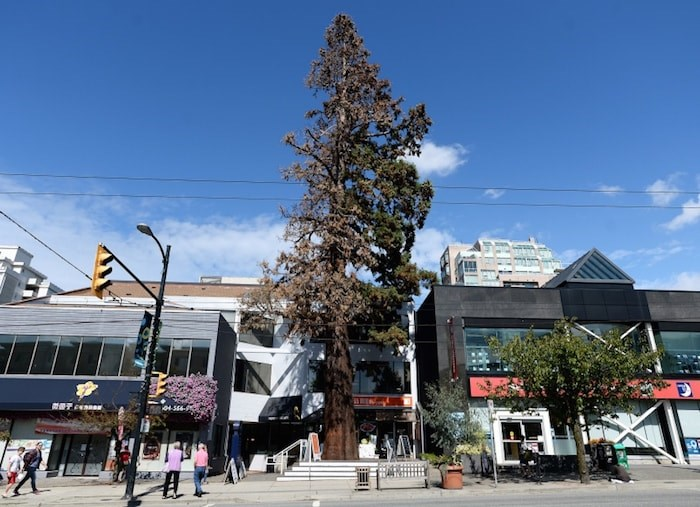 This giant sequoia tree stood for nearly 90 years on West 41st Avenue and was a Kerrisdale landmark. Photo by Jennifer Gauthier