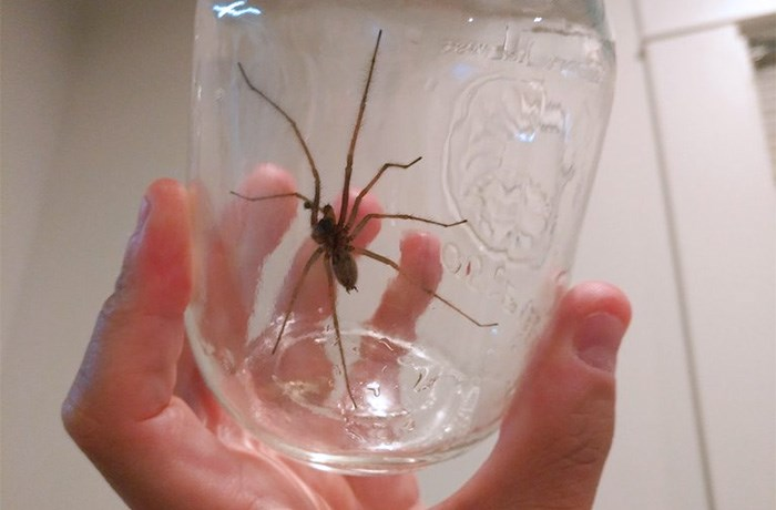 """This sketchy looking """"Giant House Spider"""" is native to Vancouver"""